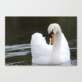 Swan in water2 Canvas Print