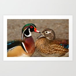 A Touching Moment Between Wood Duck Lovebirds Art Print