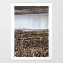 Great Blue Heron in the Cattails Art Print