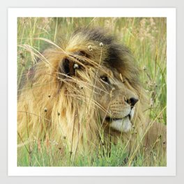 Leo Panthera African lion Art Print