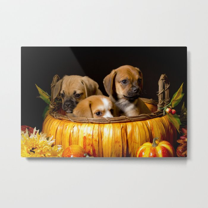 Pumpkin Basket Filled with Two Puggle Puppies and a Beaglier Puppy for Halloween Metal Print