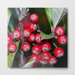 Brilliant red autumn berries - Aronia fruit Metal Print
