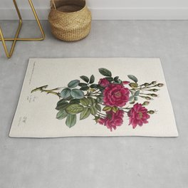 A flowering rose (Rosa species). Coloured lithograph, c. 1850. Rug