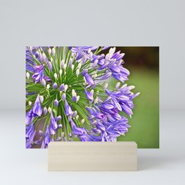 Agapanthus (African Lily) Mini Art Print
