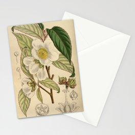 Stewartia sinensis, Theaceae Stationery Cards