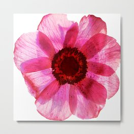 Fragile and beautiful - red anemone in white background Metal Print