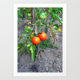 Almost Ripe Tomatoes Art Print