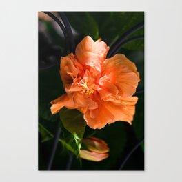 Apricot Hibiscus Canvas Print