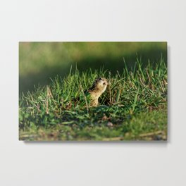 Thirteen-lined Ground Squirrel Eating - Photography Metal Print