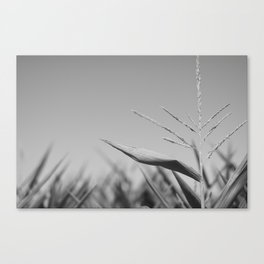 Corn Top Canvas Print