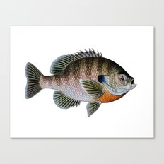 bluegill1 Canvas Print