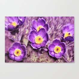 Blooming Pasque Flowers Canvas Print