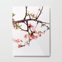Peach Cherry Bloom Metal Print