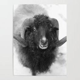 The black sheep, black and white photography Poster
