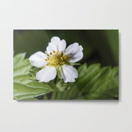 Strawberry flower Metal Print