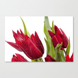Red tulip heads sprinkled with water Canvas Print