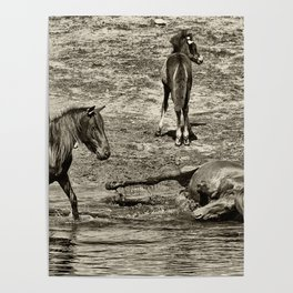 Horses taking a bath and relaxing Poster