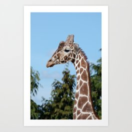 Reticulated giraffe Art Print