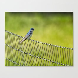 Tree Swallow Sitting on a Fence Canvas Print