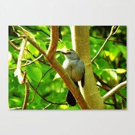 Sunshine catbird Canvas Print