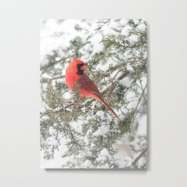 Cardinal on a Snowy Cedar Branch (v) Metal Print