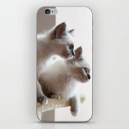 Portrait of two white long hair birman cats with blue eyes. iPhone Skin