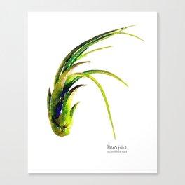 Tillandsia Paucifolia Air Plant Watercolors Canvas Print