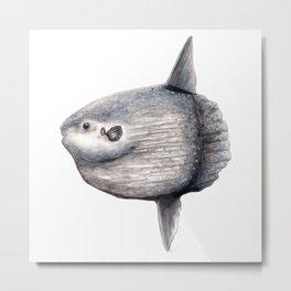 Ocean Sunfish (Mola mola) Metal Print