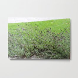 Lavender Flowers at Glamis Castle Metal Print