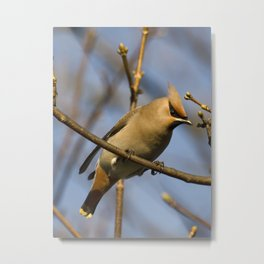 Waxwing on the look out Metal Print