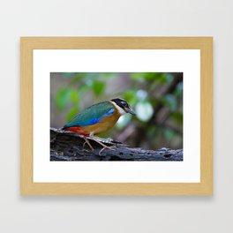 BLUE WING PITTA Framed Art Print