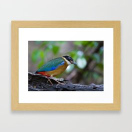 BLUE WING PITTA Framed Art Print
