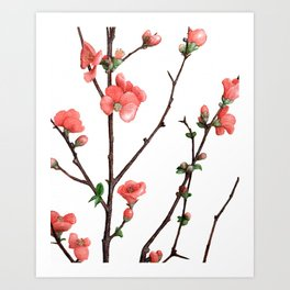 Flowering Quince Painting Art Print