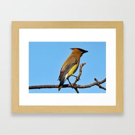 Cedar Waxwing on a Limb Framed Art Print
