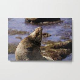 La Jolla Seals Metal Print