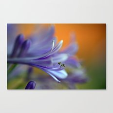 Blue Agapanthus 2786 Canvas Print