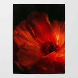 Mohnblüte bei Nacht Poster
