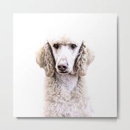 Standard Poodle Metal Print