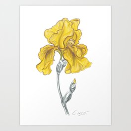 iris 02 Botanical Flower * Yellow Bearded Iris Art Print