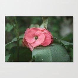 Corona de Cristo - Flower Photography Canvas Print