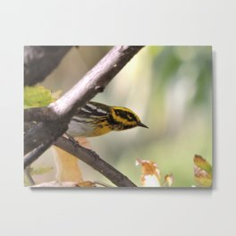 A Townsend's Warbler in a sycamore tree. Metal Print