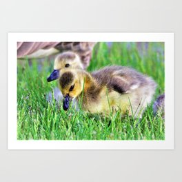 Canada Day Goslings by Reay of Light Art Print