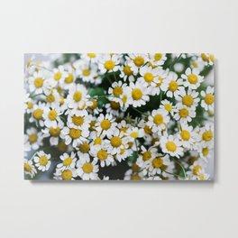 Camomile Wild Flowers Metal Print