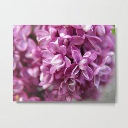 Spring Lilacs Metal Print