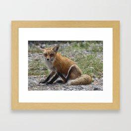 Itchy Fox Framed Art Print