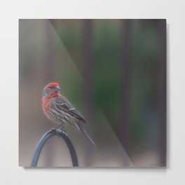 Pretty Bird - House Finch Metal Print