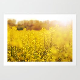 Colza field with sunset Art Print