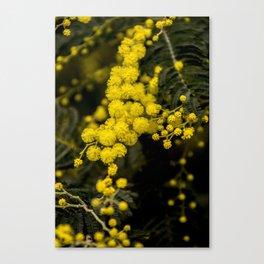 mimosa flower I Canvas Print