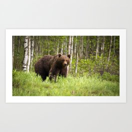 Amazing Huge Adult Grizzly Bear Strolling Proudly Across Wood Clearing Ultra HD Art Print