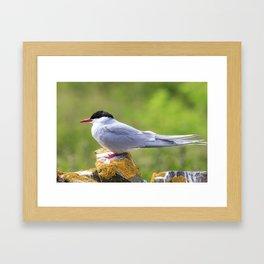 Arctic tern Framed Art Print